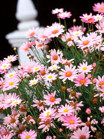 Marguerite Daisy