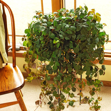 Grape ivy
