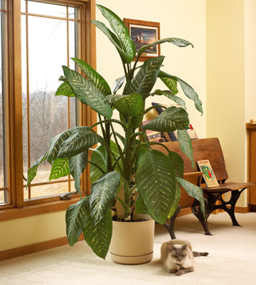 dumbcane stem extract as rodenticide or Rodenticide / stem: study evaluated the ability of dumb cane stem extract in  killing black rats (black rats are famous for its role in spreading the dreaded.