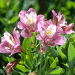 Alstroemeria