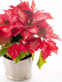 poinsettias in silver container