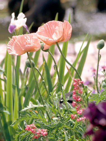 how to grow coral reef poppy