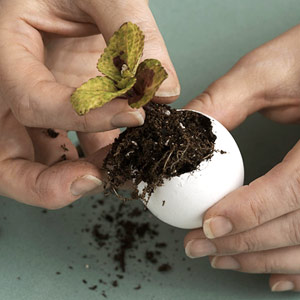 Filling egg shell with small plant