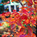 Serviceberry