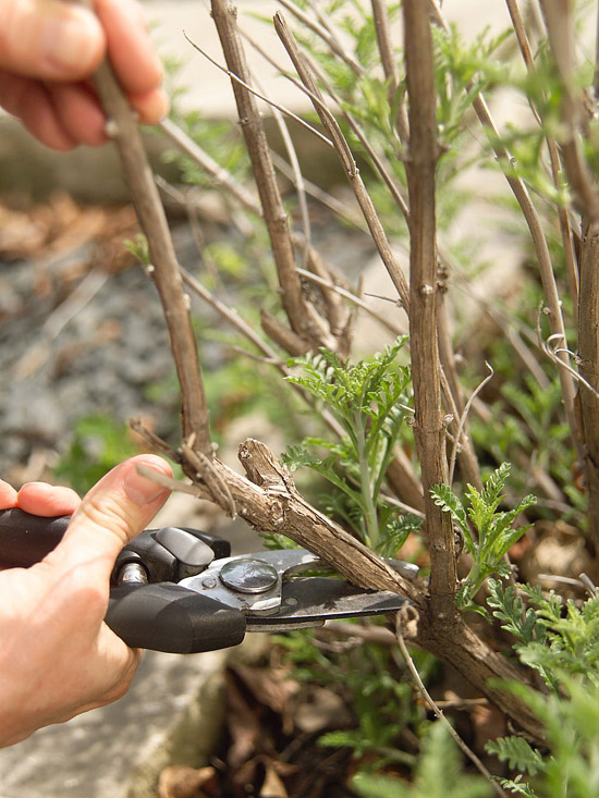 Pruning Russian sage