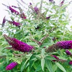 Guinevere butterfly bush