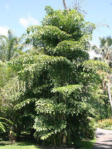 Fishtail palm