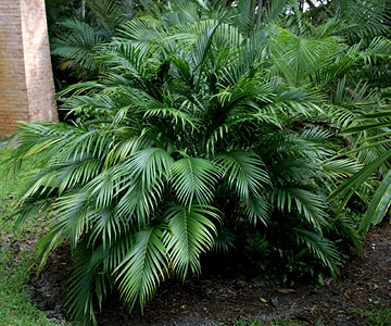 looking for a small palm that tolerates shade check out bamboo palm