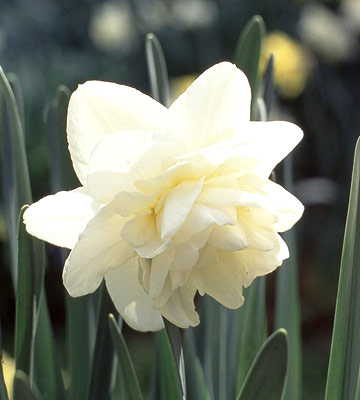 weather england daffodil lent lily blooms period lent christian faith