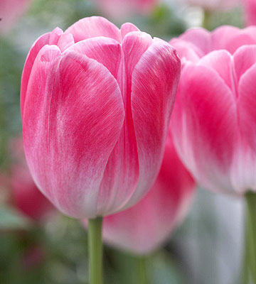 Tulip, single late hybrids