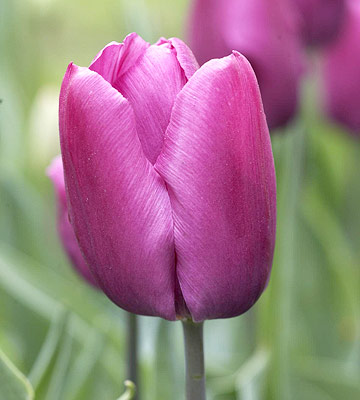 Tulip, single early hybrids