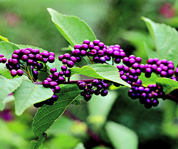 Beautyberry is a wonderful plant for autumn interest.