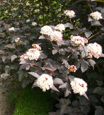 Ninebark is a fast grower and makes an excellent large informal hedge