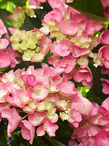 Hungry for Hydrangeas?