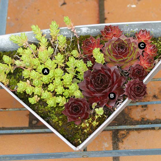 Sedum and hen and chicks in metal container