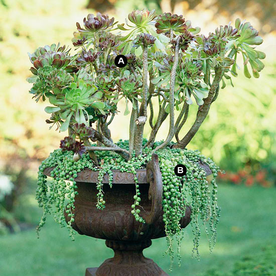Aeonium and string of beads in urn