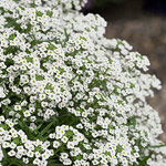 Snow Princess Sweet Alyssum