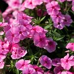 Annual phlox