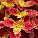 Coleus, shade-loving with blended leaf