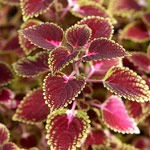 Coleus, sun-loving trailing