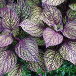 Coleus, sun-loving with veined leaf