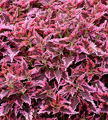 Coleus, sun-loving with edged leaf