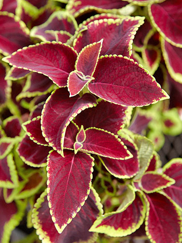 Coleus, shade-loving with edged leaf
