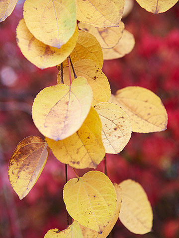 Katsura tree - Fall landscaping ideas a mosaic of colors shapes and scents ...