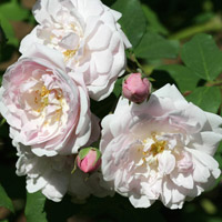 Rosa 'Champney's Pink Cluster'