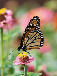 Zinnia and monarch butterfly