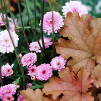 Chrysanthemum and Heuchera hybrid ?Cr�me Brulee?