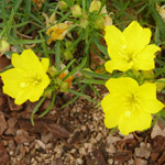 Creeping sundrops