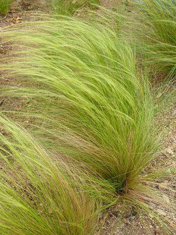 Mexican feathergrass