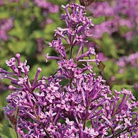 Syringa Bloomerang head