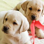 Yellow lab puppies on a bed