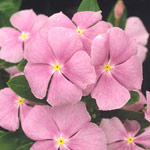 Annual vinca