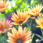 African Daisy