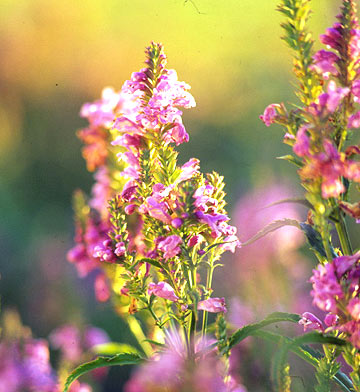 Obedient plant