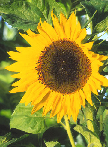 Sunflower, annual