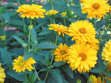 Flower Picture on False Sunflowers Are Easily Confused With Perennial Sunflowers But