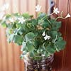 Real Shamrock Planter