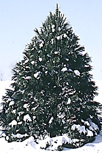 christmas tree types better homes and gardens - Types Of Christmas Trees