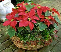 A Dressed-Up Poinsettia