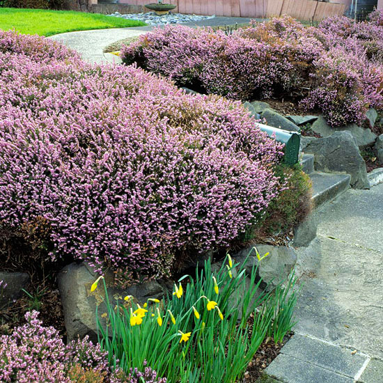 All about growing heathers and heaths in the garden - Free garden plans ireland ...