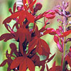 Cardinal Flower