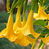 Yellow Angels' Trumpet
