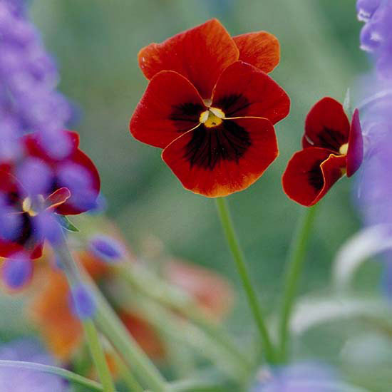 How to Select and Grow Pansies
