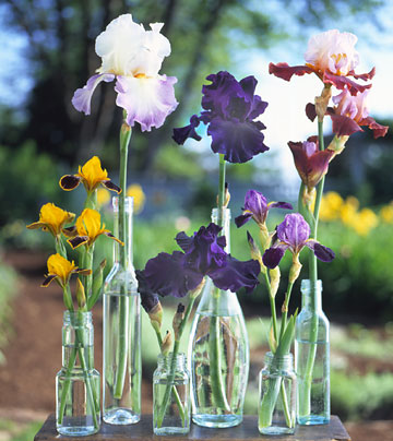 how to grow, maintain, and divide bearded iris, Natural flower
