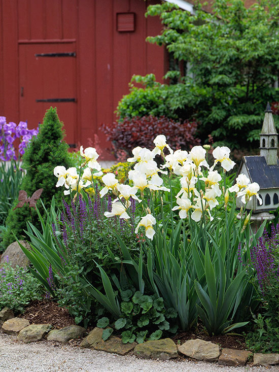 How to Grow Maintain and Divide Bearded Iris