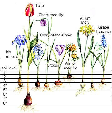 planting charts for springflowering bulbs, Natural flower